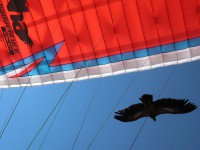 Thomas Schneider - Griffon Vulture (Wingspan bis 3m, Bir-Billing)